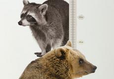 Muurstickers dieren Groeimeter beer detail